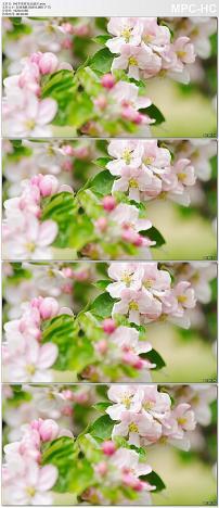 苹果树花朵盛开实拍视频素材